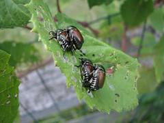 Beetle porn