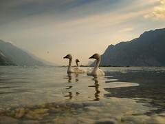 3 little swans posing for me.... (gardawind) Tags: searchthebest swans lagodigarda cigni torbole naturalmente cignetti featheryfriday gardawind mywinners artlibre littleswans