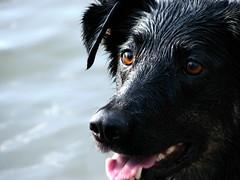 My beautiful dog (JBR_JBR) Tags: dogs lab jbr thatsclassy jbrjbr