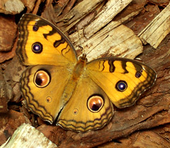 Nzz a szemembe / Look into my eyes (ssshiny) Tags: butterfly insect rovar pillang lepke