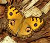 Nézz a szemembe / Look into my eyes (ssshiny) Tags: butterfly insect rovar pillangó lepke