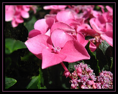Blumen (Ronile35) Tags: pink flowers blumen hortensie excellence naturesfinest blueribbonwinner abigfave wowiekazowie