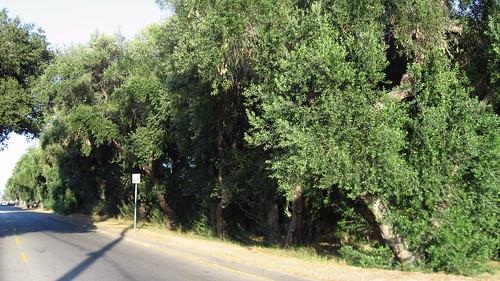 76 Mature Olive Trees