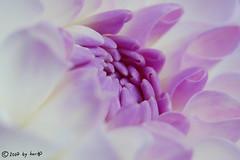 Closer (hartp) Tags: dahlia flowers white plant flower color macro nature colors closeup d50 catchycolors garden nikon close natural natur pflanze blumen lila lilac blume weiß garten dahlie helluva naturesfinest hartp hartp94315 macromarvels