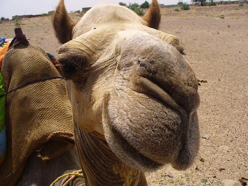 Ah ce qu'il est beau, mon chameau