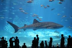 Okinawa Churaumi Aquarium. (Greg Miles) Tags: japan okinawa nago okinawachuraumiaquarium oceanexpopark okinawaliving