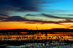 Bosque Sunset Sublime (Fort Photo) Tags: sunset newmexico bird birds animal landscape geese bravo thankyou wildlife birding bosquedelapachenwr cranes celebration bosque ave grateful nm ornithology bosquedelapache avian 2007 nwr naturesfinest magicdonkey specland speclandscape 100kviews goldenphotographer bratanesque superhearts flickrelite brillianteyejewel