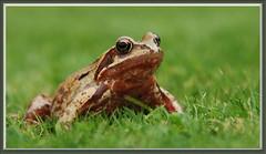 Flickr the Frog (rawprints) Tags: frog gardenwildlife rawprints frogonlawn