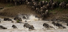 Wildebeest migration crossing the Mara river