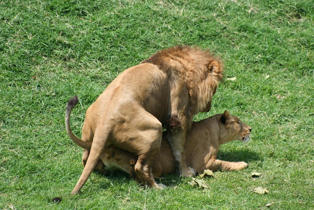 The world 39 s best photos of cortejo and leones flickr hive mind - Leones apareamiento ...
