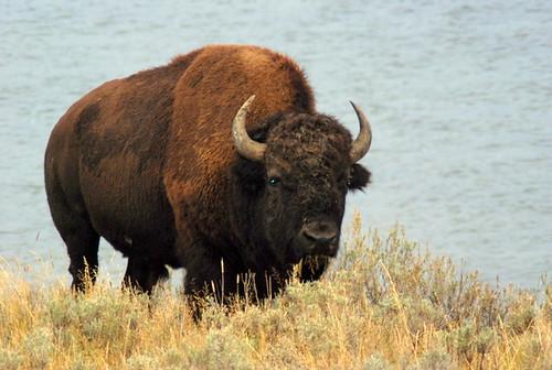 American Bison Head American Bison Have Brown Hair