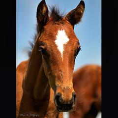 Potro PSI (FOTGRAFAS) Tags: horse animal no natureza pasto vida campo psi cavalo corrida pelo futuro potro solto campeo haras potrinho