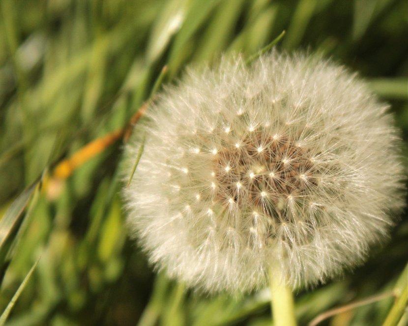 Fuzzy Dandelion