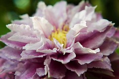 Clematis (louisahennessysuou) Tags: pink flowers blackandwhite garden purple clematis