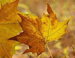 Autumn Leaves are Painted Gold (JacquiTnature) Tags: autumn plant fall gold golden leaf sycamore zuiko shenandoahriver botony