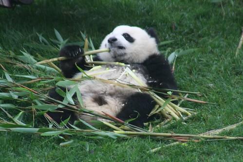 Panda Mania!