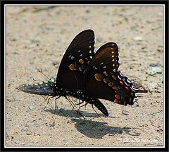 Black Swallowtail Butterfies