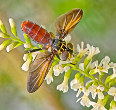 Another feather-legged fly (jim_mcculloch) Tags: flies buzznbugz