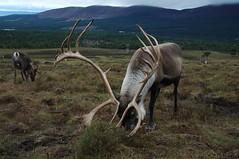Cairngorm reindeer (Jonathan Bateman) Tags: scotland aviemore caringorm sswc2007