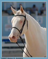 Miakoda (Rock and Racehorses) Tags: horses horse dad explore pa devon d200 filly dressage cremello tobiano abigfave dressageatdevon miakoda