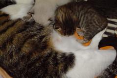 15 days old (Mel1st) Tags: cat kat chat gata neko katze macska kot kats kedi koshka katt kato kissa kon meo ronronovisky paka kocka fato macka feles pussi negru chatul popoki qit kutjing miston maaoh mist mickinha mickinhababies