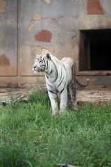 Abilene Zoo, TX (KellyKamikaze) Tags: cat zoo feline tiger bigcat whitetiger abilene captivity bengaltiger indiantiger royalbengal pantheratigristigris royalwhitetiger abilenezoo pantheratigrisbengalensis abilenezoologicalgardens