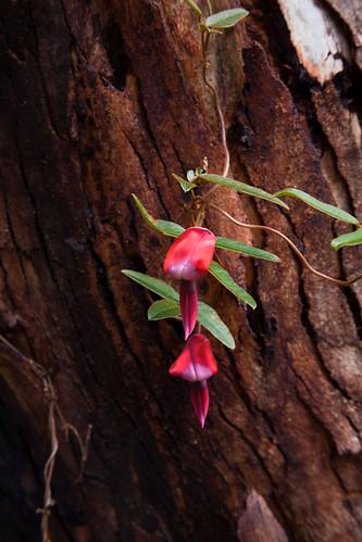 Girraween Flower