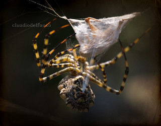 Argiope lobata trapping a victim with silk