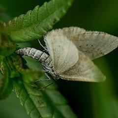Ovipositing Grass Rivulet - Perizoma albulata (Walwyn) Tags: insect lepidoptera moths warwickshire walwyn draycotemeadows profmoriartydotcom:book=51 profmoriartydotcom:book=50
