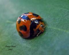 Ladybird Ladybird (btrue2anita) Tags: macro bugs ladybird naturesfinest monto specnature ricohcaplior2