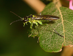 """SawFly (Tenthredo mesomelas)(3) • <a style=""""font-size:0.8em;"""" href=""""http://www.flickr.com/photos/57024565@N00/609348239/"""" target=""""_blank"""">View on Flickr</a>"""