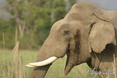 Musth elephant (dickysingh) Tags: wild india nature big outdoor wildlife aditya elephants corbett singh corbet dicky indianwildlife indianelephants corbettnationalpark asianelephants corbetttigerreserve asiaticelephants elephantpark wildelephants elephantreserve ranthambhorebagh adityasingh dickysingh ranthamborebagh theranthambhorebagh wwwranthambhorecom