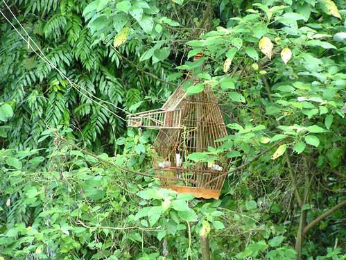 Bird_poaching_Red_whiskered_Bulbul_.jpg
