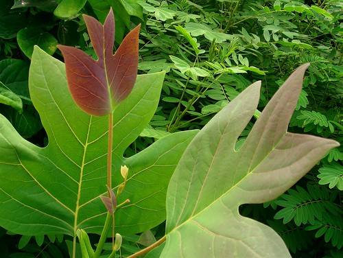 Nonconformist leaf