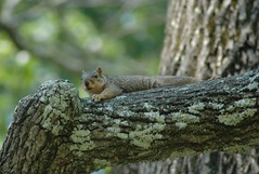 Nap Time (pattilowman) Tags: squirrels wv naturesfinest clarksburg vapark superbmasterpiece