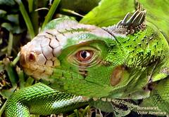 iguana close (Bonsailara1) Tags: green garden venezuela visit iguana paintshoppro naturesfinest supershot animalkingdomelite tepasaste colorphotoaward naturefinest bonsailara1