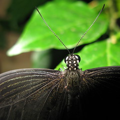The nape of the neck (ratsal adsand) Tags: black macro green eye butterfly bug neck insect leaf spots dots antennae nape mygoditsfullofstars commonmime chilasiaclytia
