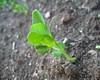 garden #3455: peas!