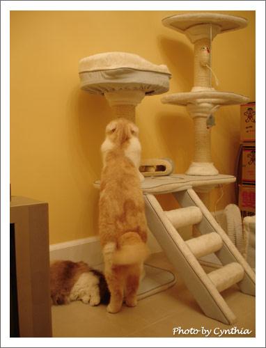 Biru示範用貓跳台磨爪
