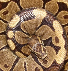 """Monty"" (EcoSnake) Tags: africa animals wildlife small harmless snakes monty ballpython reptiles gentle herps royalpython coolguy pythons"