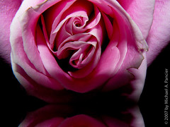 The Eros Rose (Michael Pancier Photography) Tags: leica pink flowers roses usa macro closeup lumix florida macros soe pinkpanther fineartphotography pinkelephants pinkeye pinkmartini excellence naturephotography seor pinkroses pinklemonade pinkpinkpink imalumberjackandimok naturephotographer flowerotica floridaphotographer michaelpancier michaelpancierphotography infinestyle pinkchampagneonice flowerwatcher parrotheadphotography imnotpinkbutmyartis eroticroses pinkbeer isleepallnightandiworkallday doesyourpinkdogbite number32thelarch ilikethecolorpinkbutnotthesinger dumbowasanalcoholinducedhallucination wwwmichaelpancierphotographycom seorcohiba