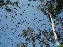 P8130238 (Enric G) Tags: africa tanzania pemba chiroptera pteropodidae pteropusvoeltzkowi