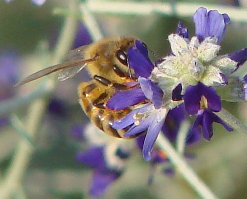 "honeybee • <a style=""font-size:0.8em;"" href=""http://www.flickr.com/photos/10528393@N00/1326465692/"" target=""_blank"">View on Flickr</a>"