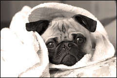 Snug as a Pug ([Christine]) Tags: dog cute pug blanket wookie abigfave anawesomeshot impressedbeauty