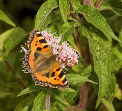 "Small Tortoiseshell Butterfly (Aglais(6) • <a style=""font-size:0.8em;"" href=""http://www.flickr.com/photos/57024565@N00/1406562991/"" target=""_blank"">View on Flickr</a>"