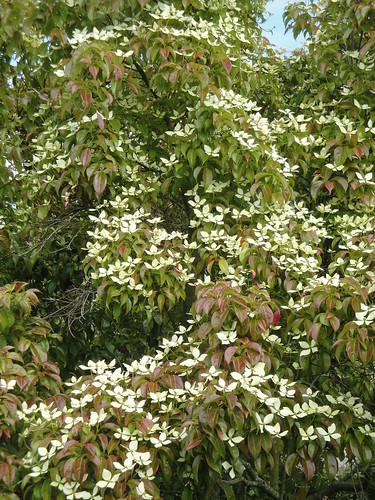 Cornus elliptica in flower