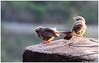 Team Work (Naseer Ommer) Tags: canon babbler chinnar yellowbilledbabbler marayoor birdsofkerala naseerommer canon300mm chinnarwildlifesanctuary canoneos7d dpintl discoverplanetinternational birdsofchinnarwls
