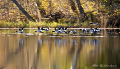 Autumn flight (Deja Photo From Lens To Picture) Tags: autumn lake bird fall nature see sweden flight