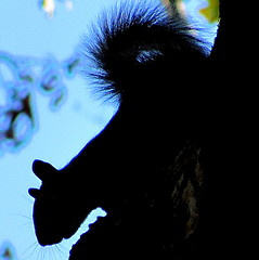electric blue (livingglassart home of oddballs and oddities) Tags: silhouette intense squirrel