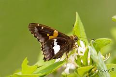 Epargyreus clarus (outdoors2magic) Tags: brown june yellow butterfly small butterflies ont hesperiinae silverspottedskipper epargyreusclarus hesperiidae bmna ventral pyrginae